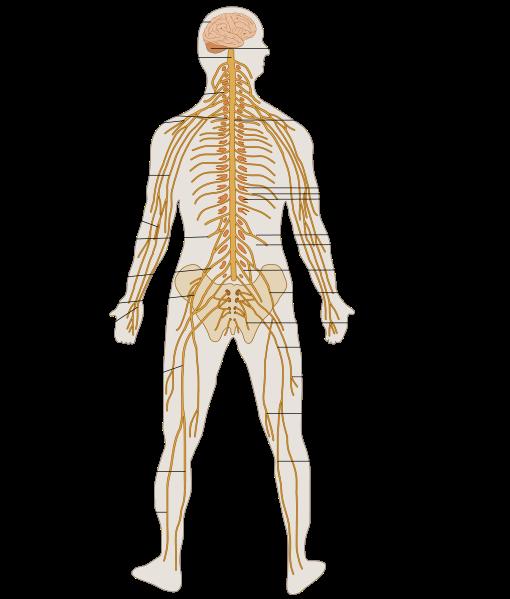 Sympathetic nervous system | Nervous System Diagram for Kids ...