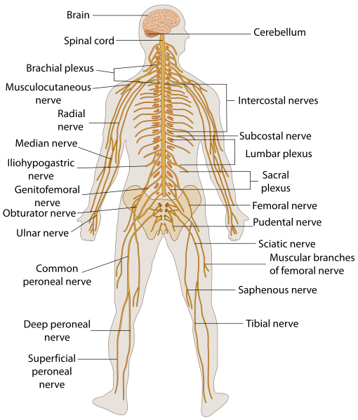 Sympathetic Nervous System Nervous System Diagram For Kids