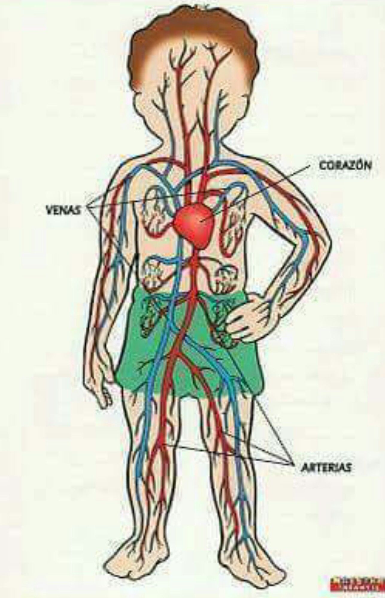 Pin By Shaira Figueroa On Partes Del Cuerpo Thl