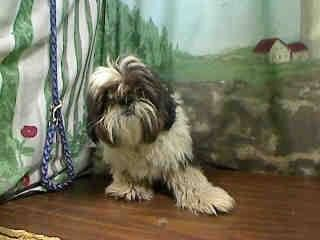SAFE --- RUFUS #A440288 (Moreno Valley, CA) My name is RUFUS. I am a Male, gray & white Shih Tzu. The shelter thinks I am about 1 year. I have been at the shelter since Sep 11, 2014 and I may be available for adoption on Sep 19, 2014 at 12:55PM ...City of Moreno Valley Animal Control Services. https://www.facebook.com/135559229932205/photos/a.136024659885662.29277.135559229932205/362156773939115/?type=3&theater
