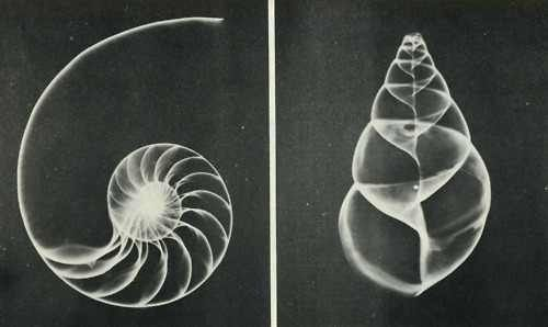 Fibonacci Spiral Nautilus Shell A Symbol For The Inner Beauty Of