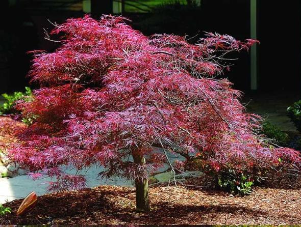 Top 10 Japanese Maple Tree Varieties Japanese Maple Tree Varieties Japanese Maple Tree Maple Tree Varieties