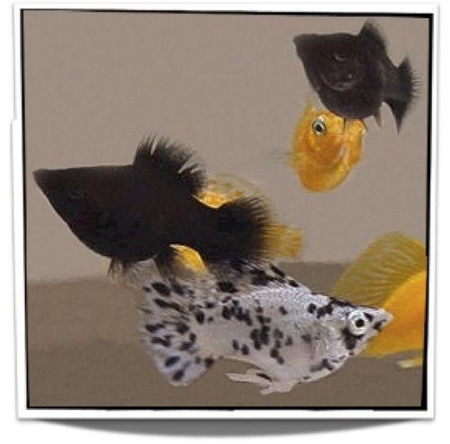 Assorted Mollies Fish For Sale Pet Fish Aquarium Fish Tropical Freshwater Fish