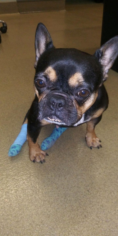 Adopt Ariel on French bulldog rescue, French bulldog