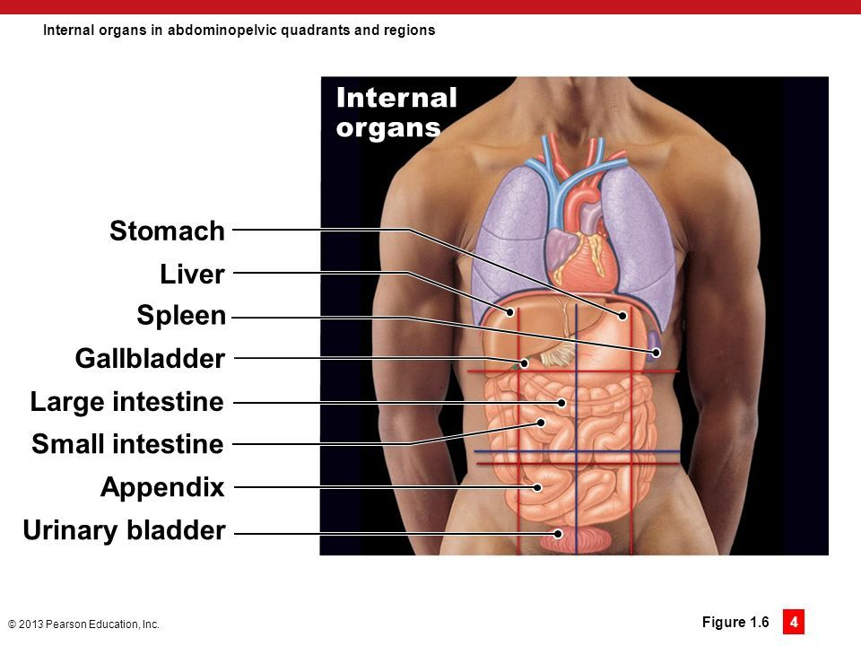 Abdominopelvic Organs Of The 9 Regions