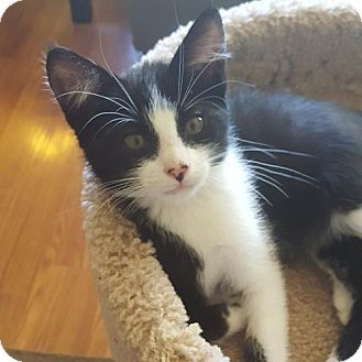 HILLSBORO, OR - Domestic Shorthair. Meet Maleah, a kitten for adoption…