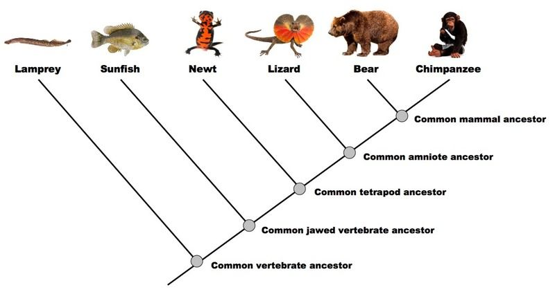 Example of a simple Cladogram – Cladogram Worksheet