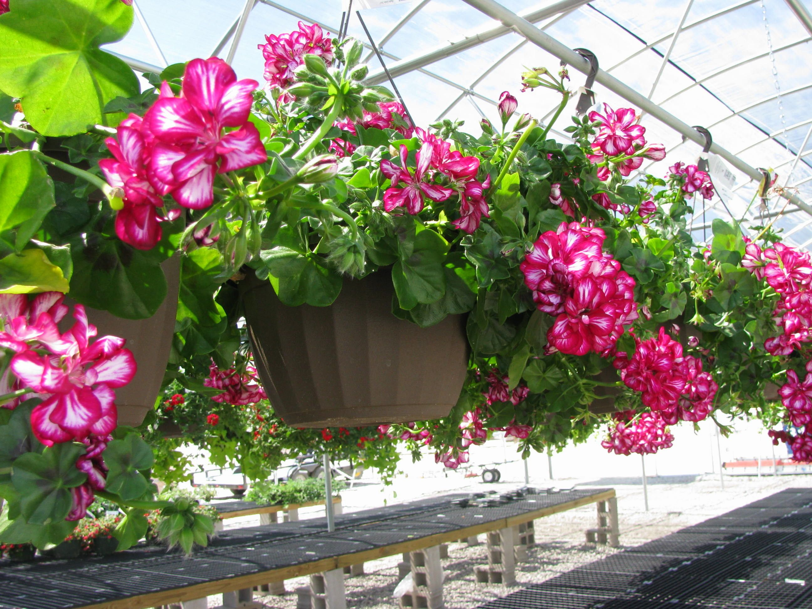List of annual flowers ided by color sun amp shade types - Hanging Flower Baskets For Shade Google Search