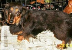 Nationwide List Of Dachshund Rescues Adopt Rescues Dachshund Rescue Adoptable Dachshund Dog Dachshund