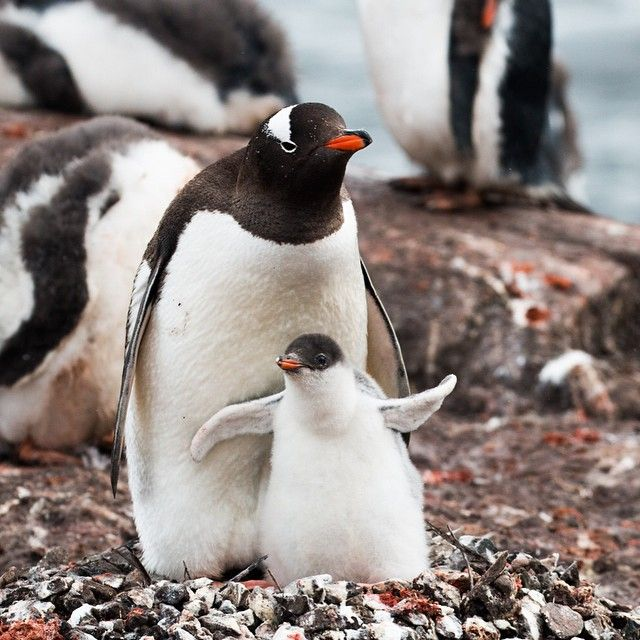 「A gentoo penguin mother and chick at the Penguin Post Office in Port Lockroy. Unfortunately, this chick will most likely not survive since it got such a…」