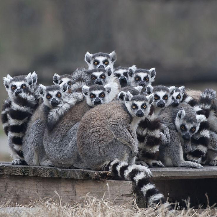 6b17b97baf1 Facts and information about Ring-tailed Lemur ( Lemur catta )