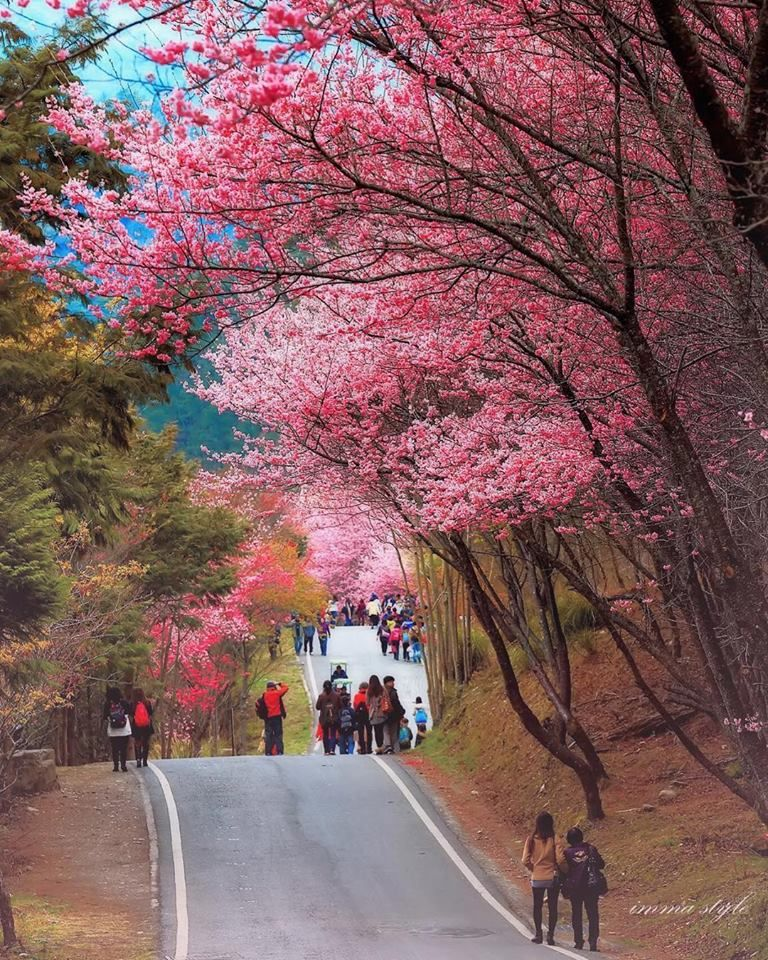 Cherry Blossom In Taiwan 2021 Forecast The Best Time 8 Best Places To See Cherry Blossoms In Taiwan Living Nomads Travel Tips Guides News Informat Places To See Cherry Blossom Taiwan