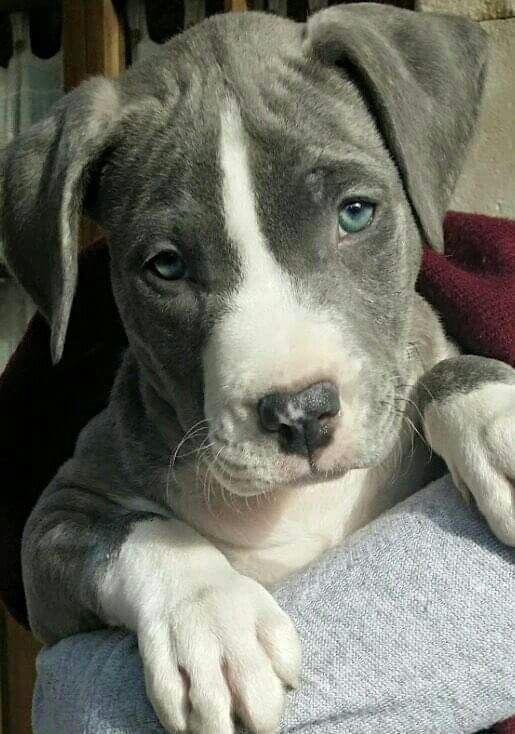 American Stanford Blue Curiosidades Animales Perros