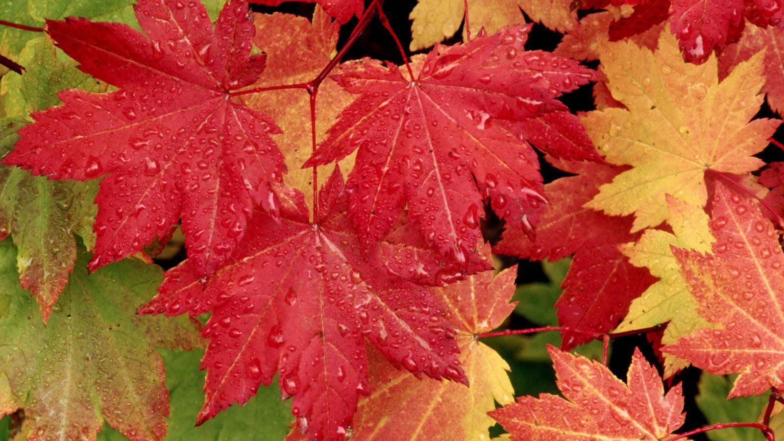 Astra: landing and care for the autumn beauty on your site 82