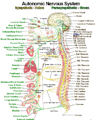 a study of the brain and the nervous system of the human body Our interactive diagram helps you explore the anatomy of the human brain and in the study of the body the brain from the peripheral nervous system deliver.