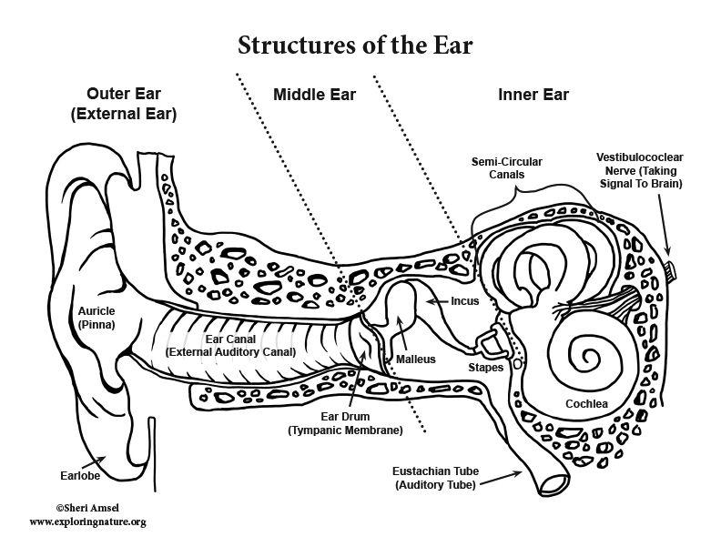 Ear Anatomy Coloring (Advanced) in 2020   Ear anatomy ...