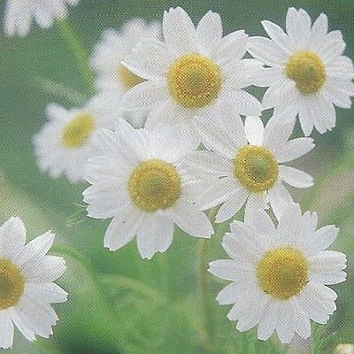 How To Grow German Chamomile Plant Projects Edible Garden Planting Herbs