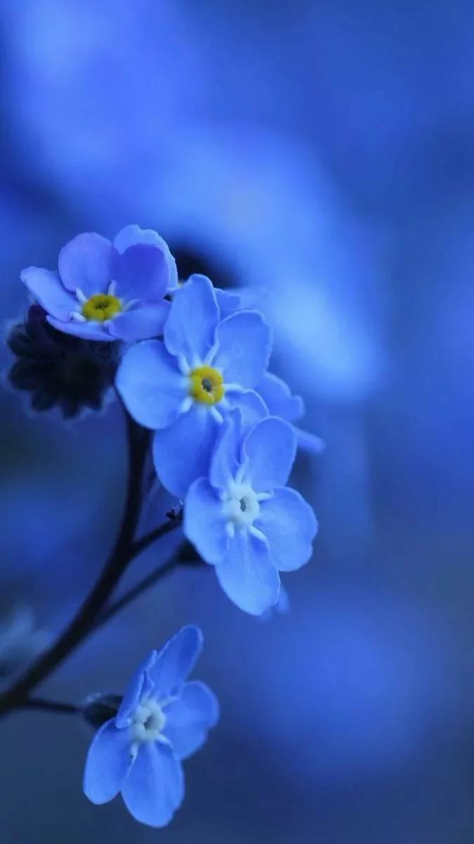 Обои синие, цветы. Цветы