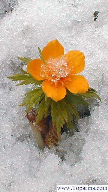 Snow Flowers Wallpaper Orange Flowers Snow Flower Winter