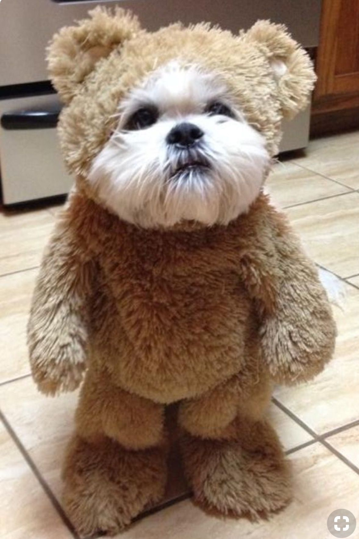 This Is The Funniest Thing Ever With Images Teddy Bear Dog