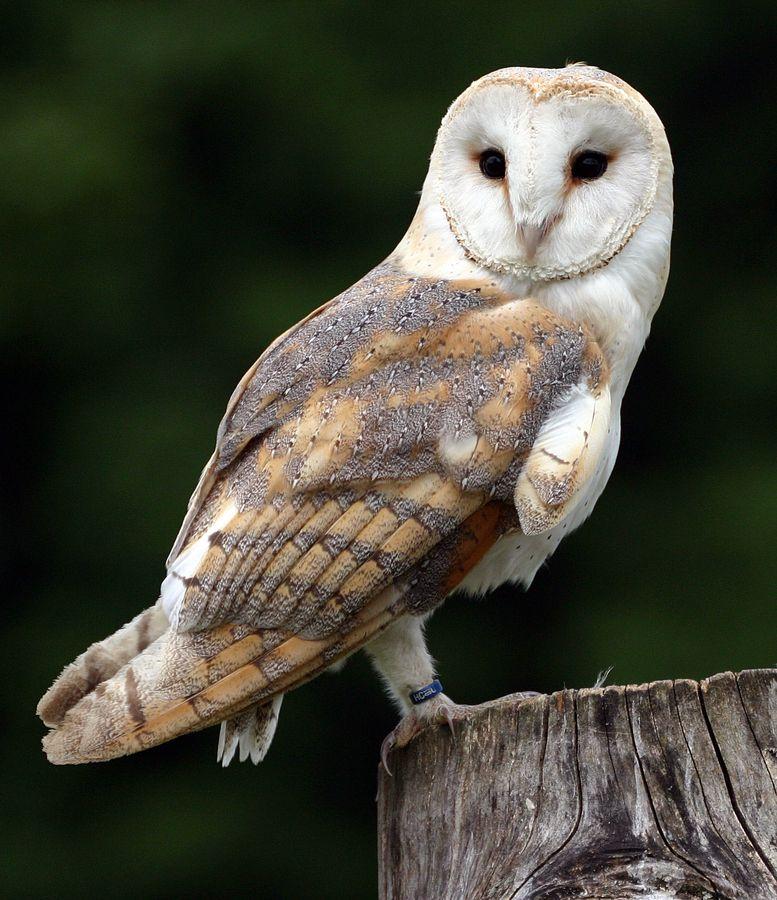 Barn Owl   Сова, Птицы