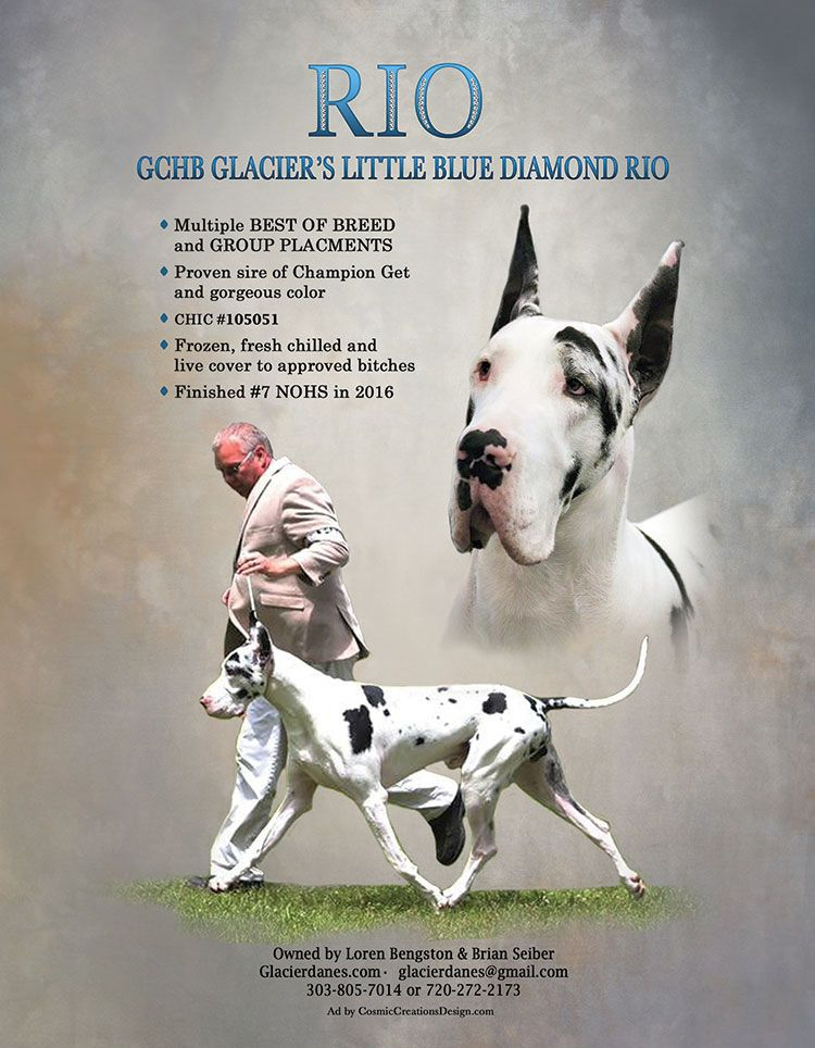 Home Back To Stud Galle Great Dane Dane Breeds