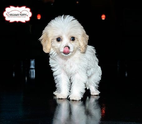 Dreamy Puppy Review Dreamy Puppy Has Everything You Need For Your Pets Come Check Out Our Puppies Cavachon Puppies Puppies Dog Store
