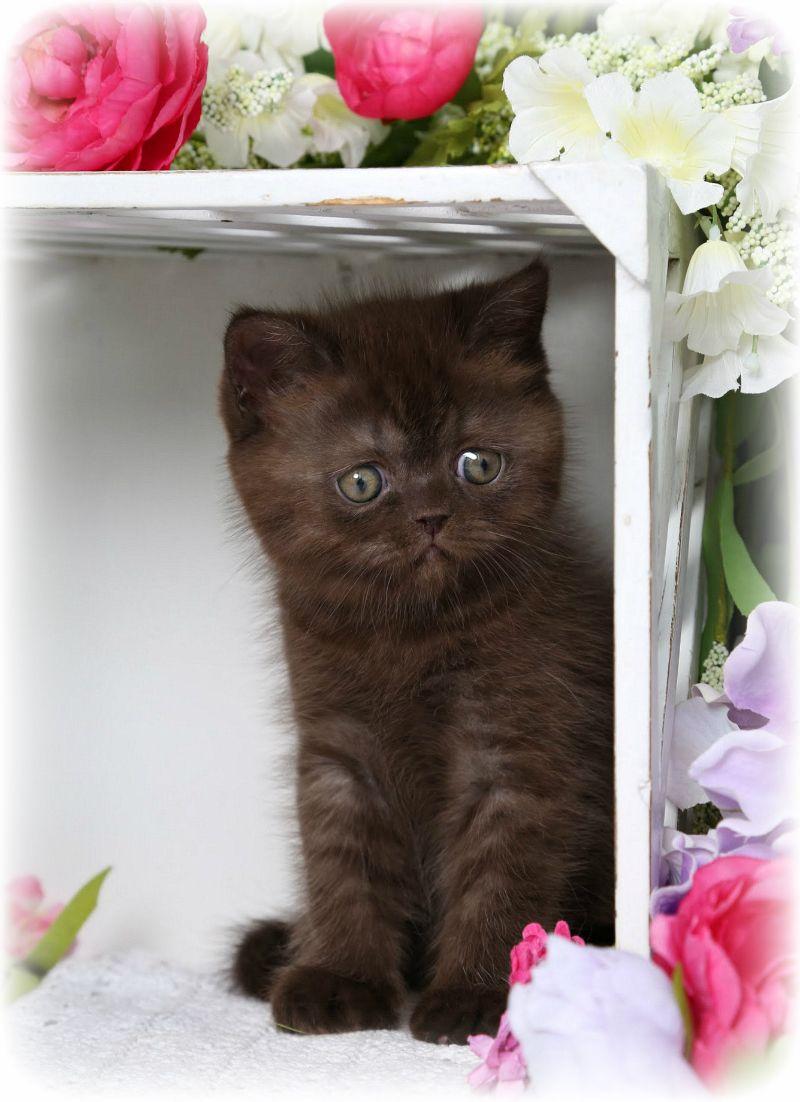 Doll Face Exotic Short Hair Persian Kitten Lady Godiva
