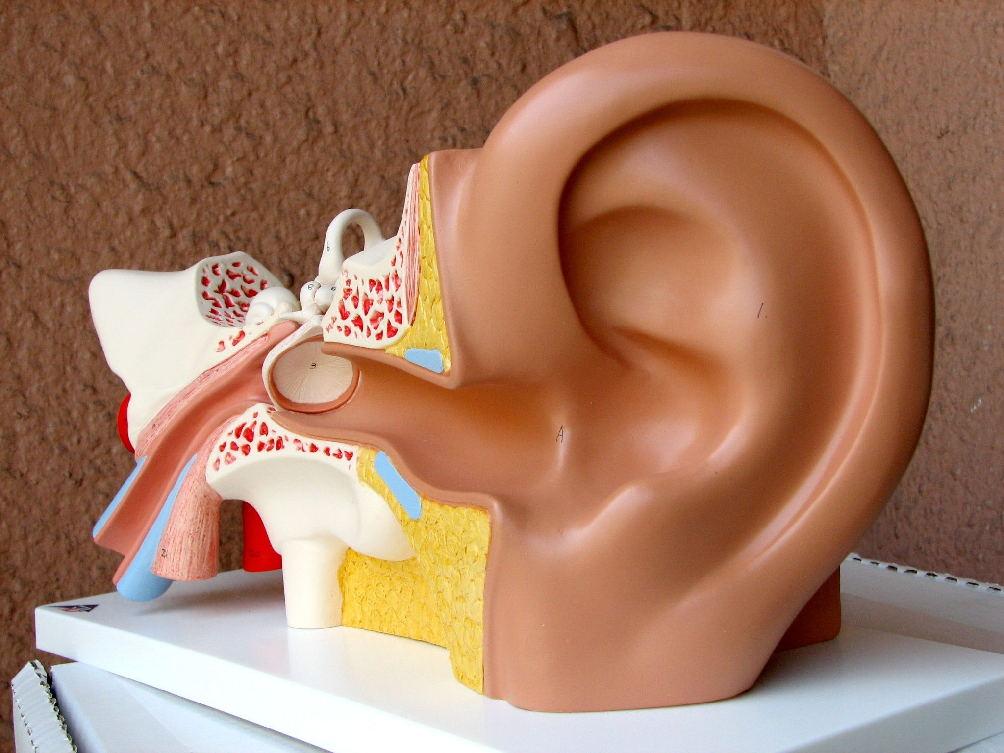 Diving Ear Anatomy & Physiology (External, Middle and Inner Ear ...