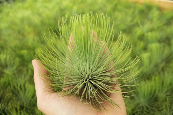 Airplant Andreana XL 56 inches Red Flower by GardenInTheCityShop, $9.95