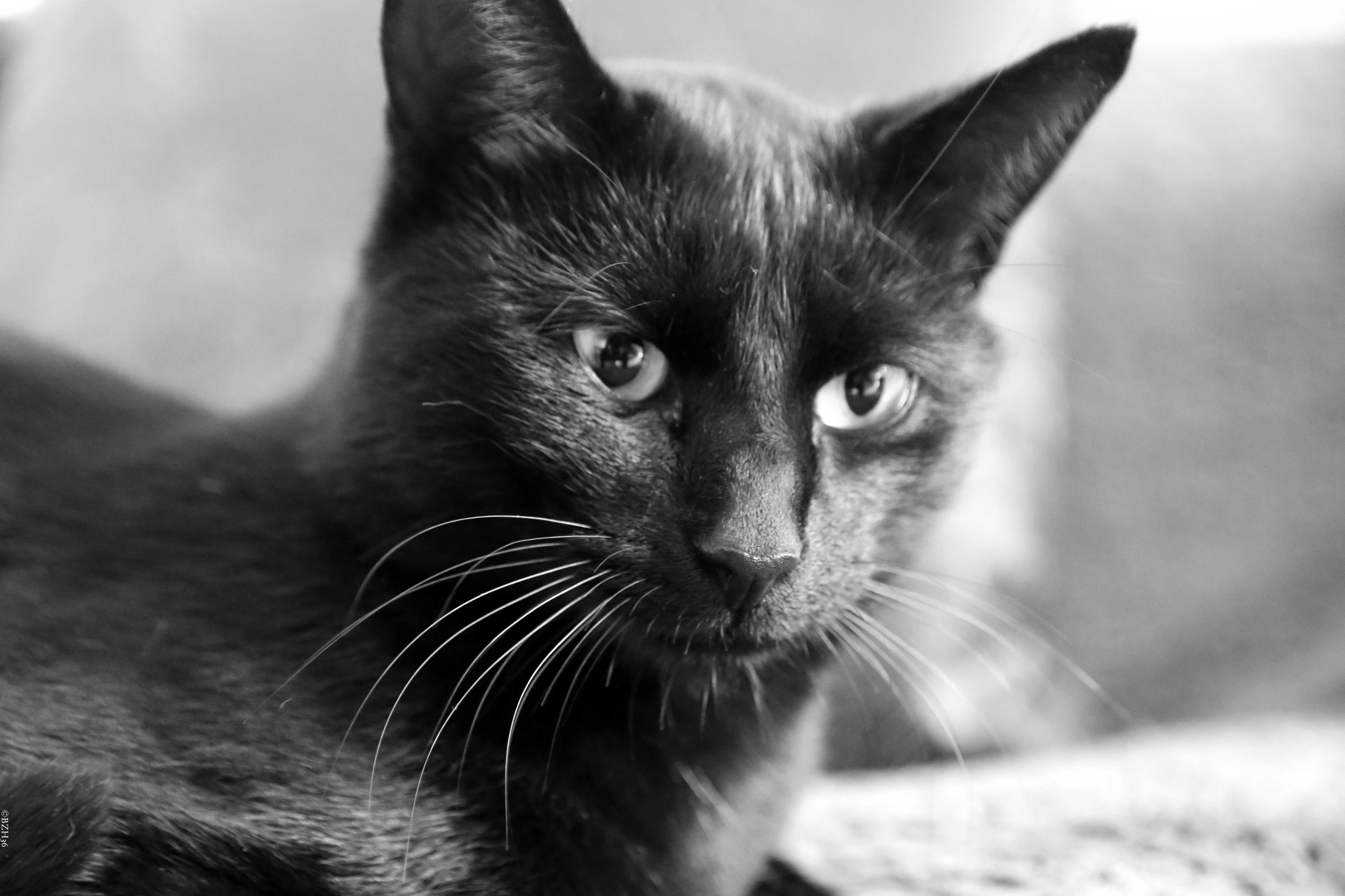 ©BZH36, Chat, Cat, 猫, Gato, Gatto, Kotuk, Neko, Popoki, Kissa, Koshka, Cha'tool, Katze, Ga'ta, Cattus, Katt, Kot, Kut, Katsi, Kedi, Gatz, Mao, Kotka, Kat, Kucing, Meo, Gat, Pisica, Kocka, Macka, Kiisu
