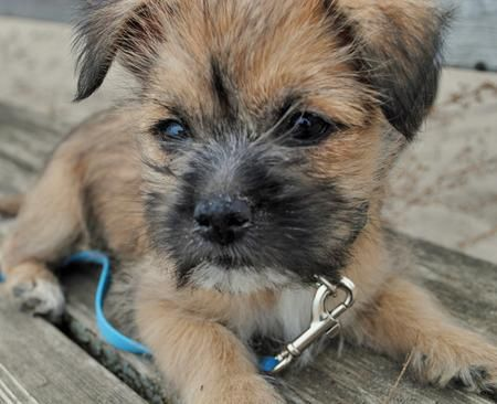 Teddy The Cairn Terrier Mix Cairn Terrier Mix Cairn Terrier Cairn Terrier Puppies