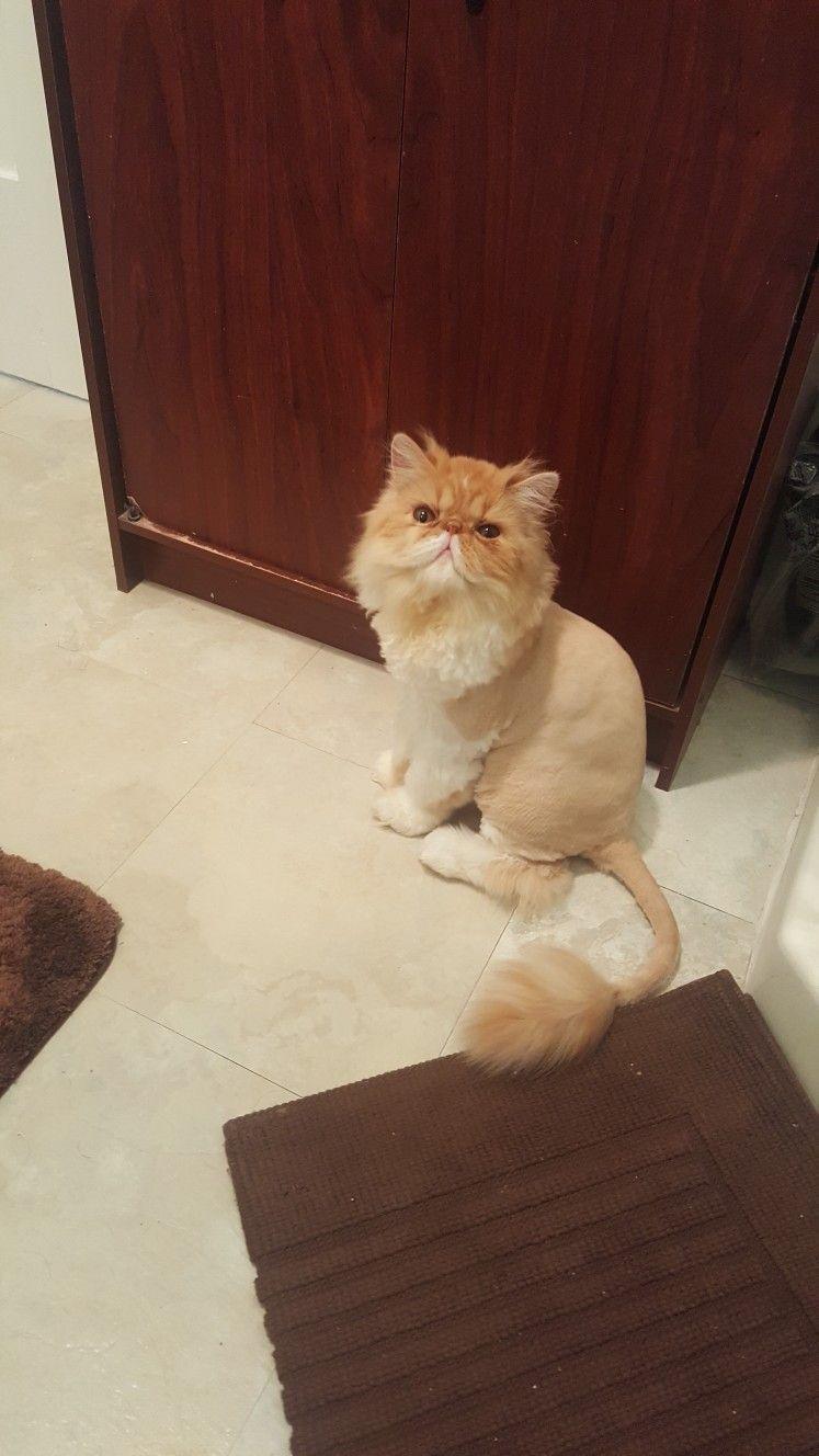 Adorable Persian Cat Gallery Ideas Cat Lion Haircut Persian Cat Cat Haircut