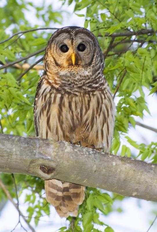 صور البومة صور ومعلومات عن البومة Owl Pictures Owl Animals