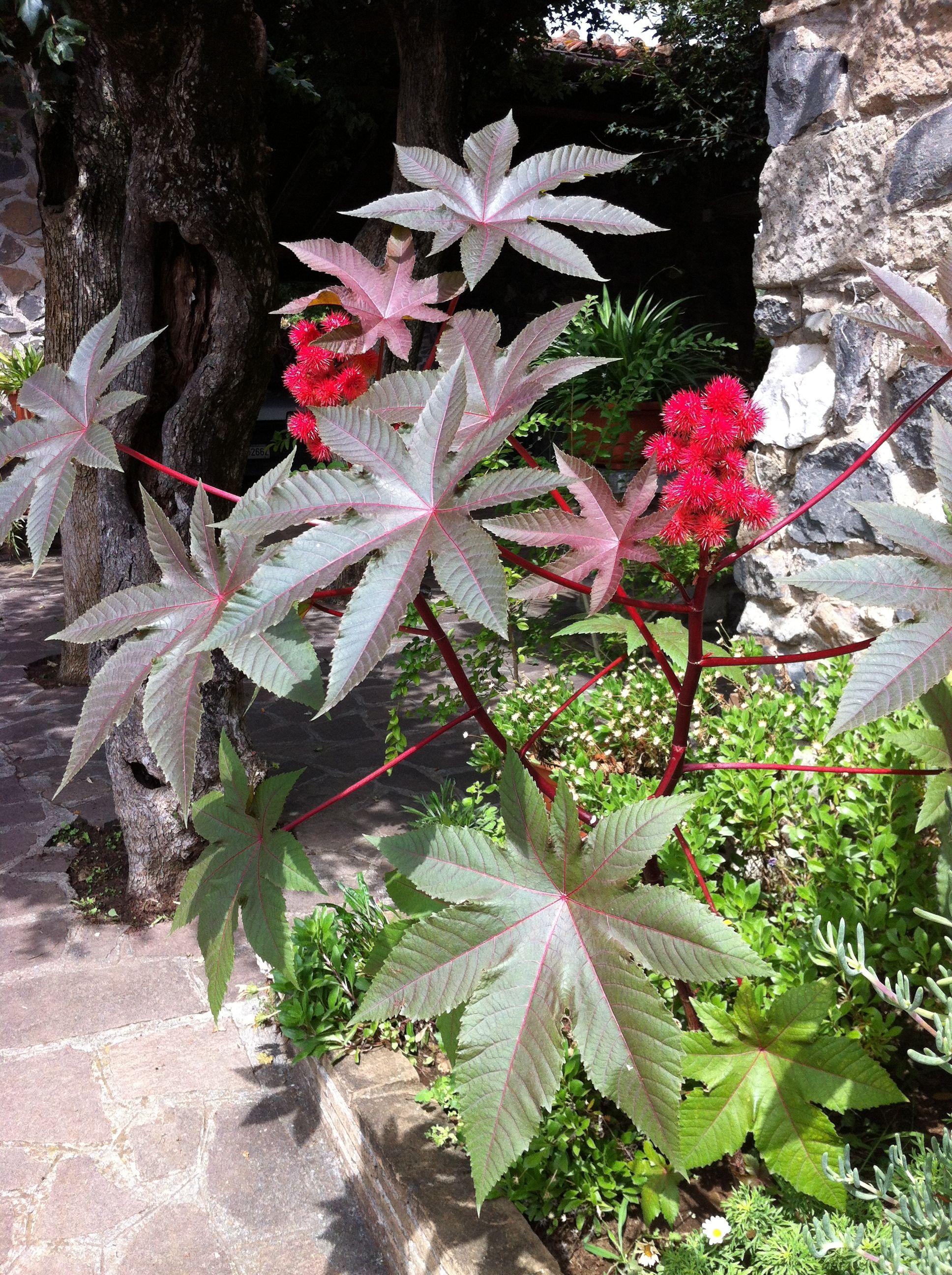 Pianta di ricino foto di giuseppina ceraso http://crocettando.wordpress.com