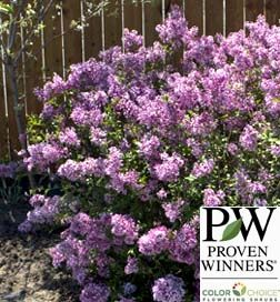 Lilac Purple Bloomerang With Images Bloomerang Lilac Plants Lilac Bushes