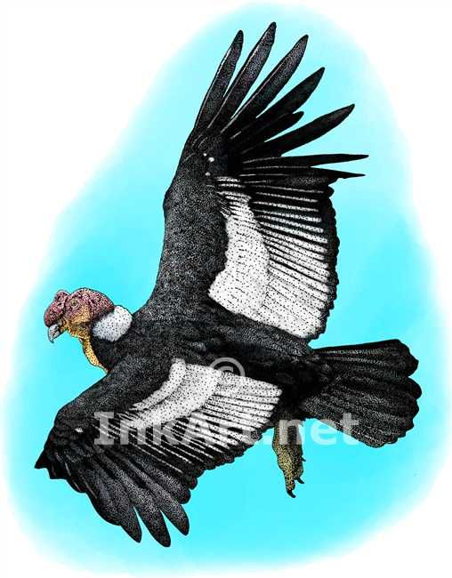 Full Color Illustration Of An Andean Condor Vultur Gryphus