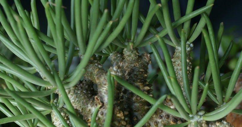 Plante Succulente Tylecodon Wallichii Cactus Orchidee La