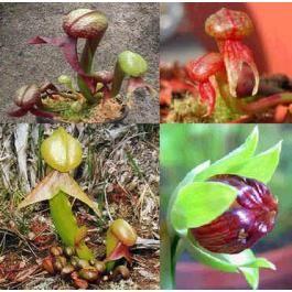 Darlingtonia Californica (Cobra Lily)