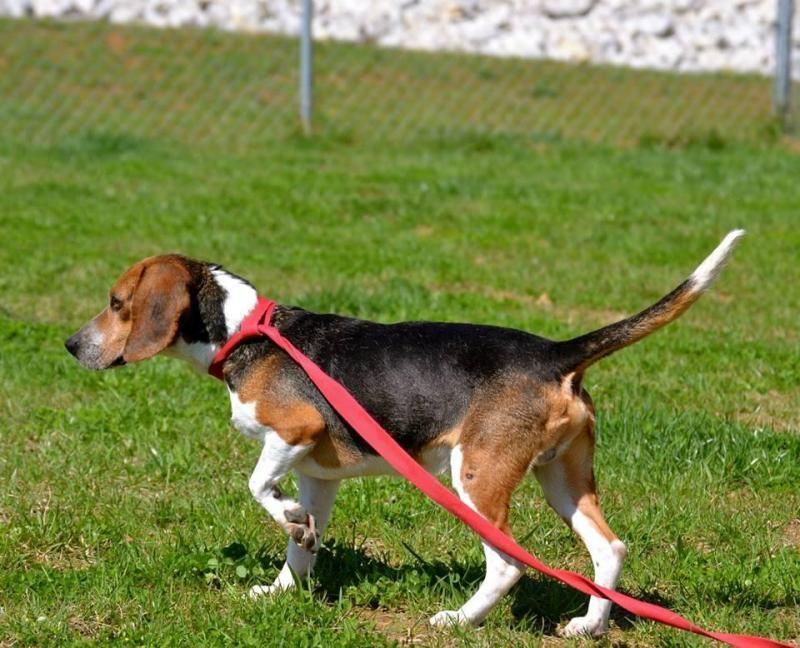 Meet Ernie A Petfinder Adoptable Beagle Dog Elizabethtown Ky