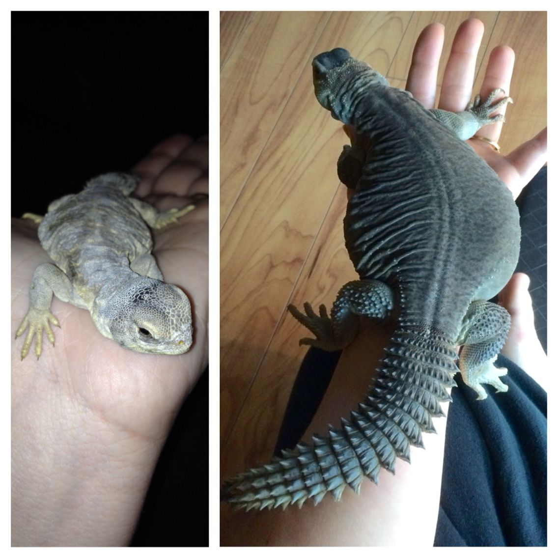 Egyptian uromastyx from hatchling to yearling | My misfits ...