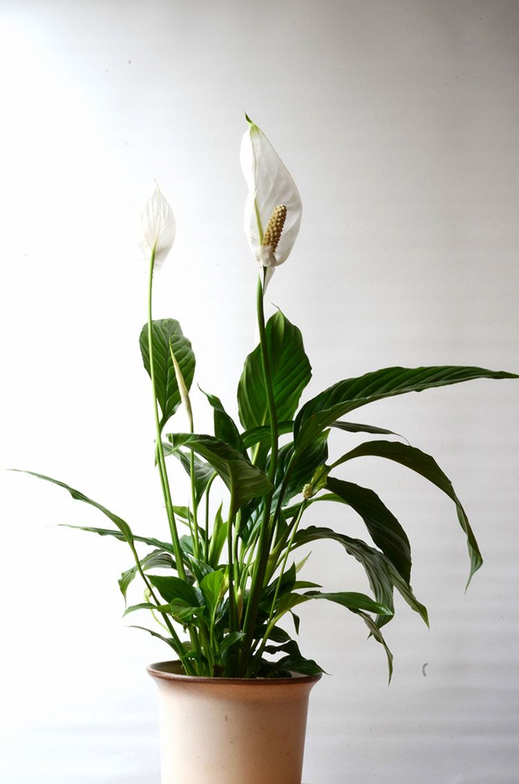 Peace Lily Care How To Grow Spathiphyllum Greens Pinterest