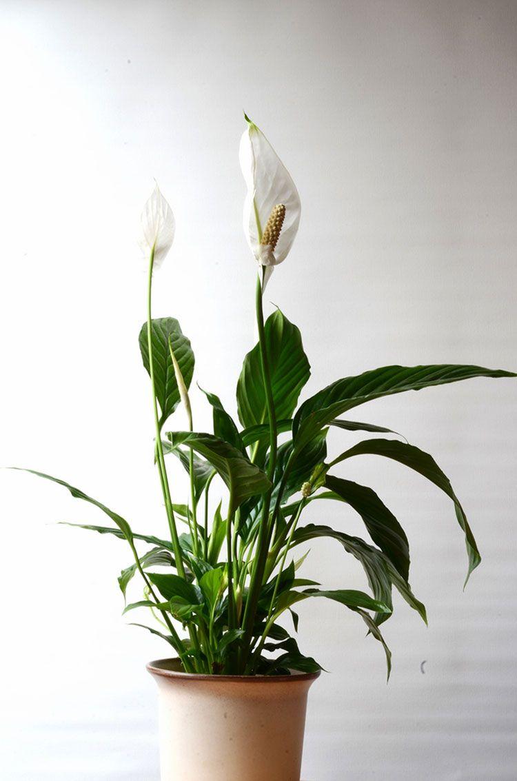 Garden Ideas · This Peace Lily Needs Little Sunlight ...