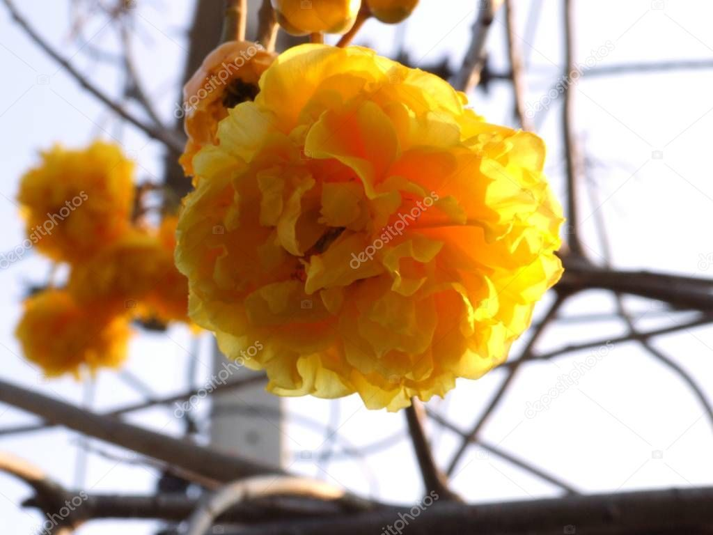 Yellow Silk Cotton flower - Stock Photo , #AFF, #Cotton, #Silk, #Yellow, #Photo #AD