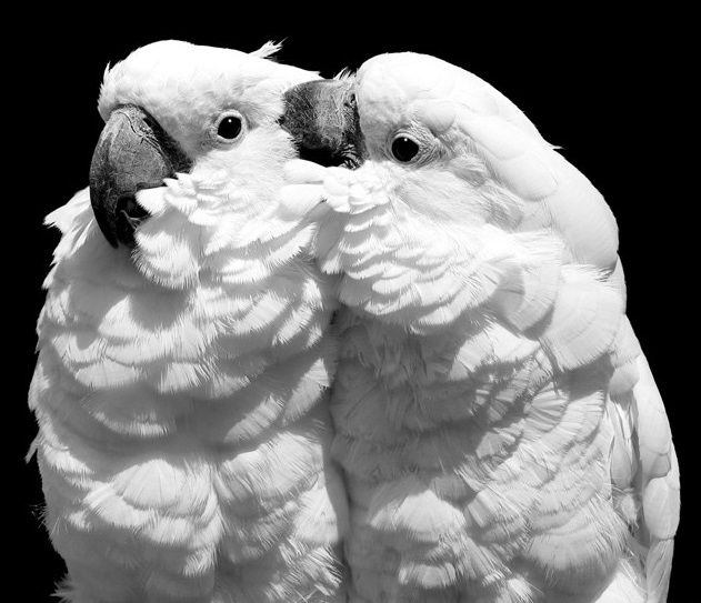 A pair of Umbrella Cockatoos.