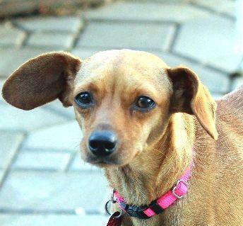 chiweenie dog for adoption in antioch ca adn 681410 on puppyfinder