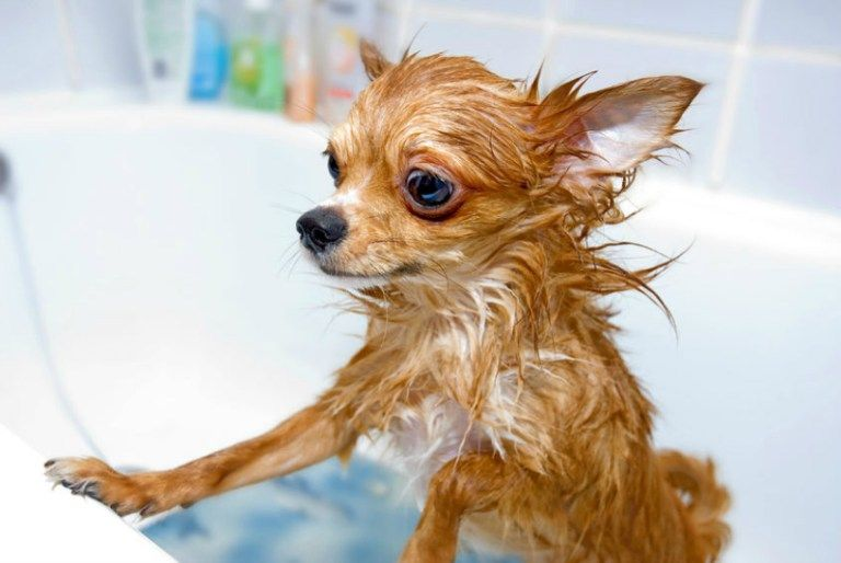 Diy Puppy Shampoo With Essential Oils Recipe Chihuahua Dogs