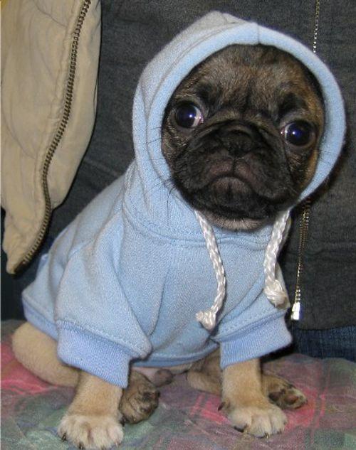 103 Pugs Wearing Little Jackets Cute Pugs Pugs Puppies