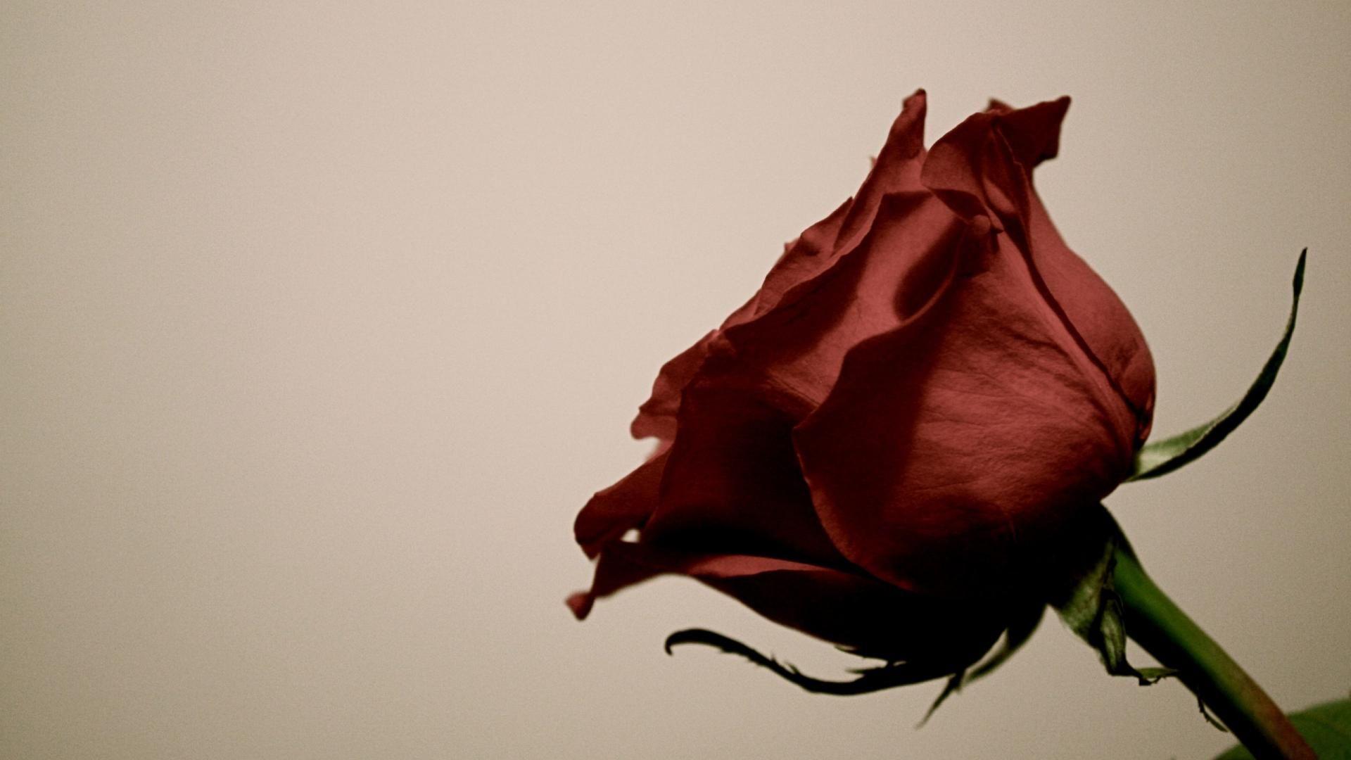 Red Rose Flower Desktop Hd Wallpaper Facebook Covers Phone