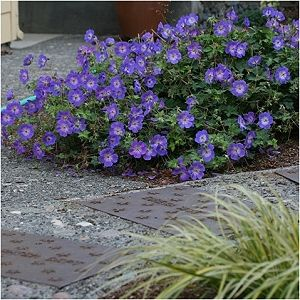 Purple Cranesbill Geranium Spring To Fall Flowering Ground Cover Also Good In Planters Perennial Geraniumgeranium Plantcranesbill